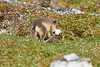 Arctic_Fox_With_Food_Svalbard_2018_Norway_0020