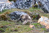 Arctic_Fox_With_Food_Svalbard_2018_Norway_0005