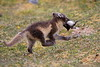 Arctic_Fox_With_Food_Svalbard_2018_Norway_0009