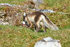 Arctic_Fox_With_Food_Svalbard_2018_Norway_0019