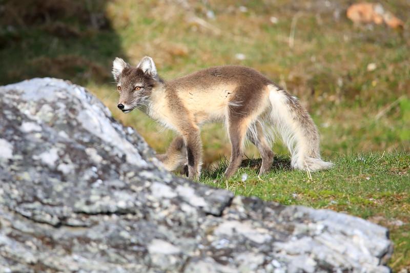 Arctic_Fox_Mother_Svalbard_2018_Norway_0001