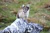 Arctic_Fox_Mother_Svalbard_2018_Norway_0016