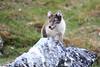 Arctic_Fox_Mother_Svalbard_2018_Norway_0014