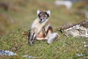 Arctic_Fox_Mother_Svalbard_2018_Norway_0008