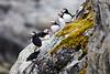 Atlantic_Puffin_Svalbard_2018_Norway_0015