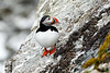 Atlantic_Puffin_Svalbard_2018_Norway_0059