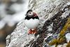 Atlantic_Puffin_Svalbard_2018_Norway_0054