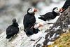 Atlantic_Puffin_Svalbard_2018_Norway_0053