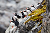 Atlantic_Puffin_Svalbard_2018_Norway_0021