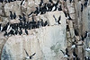 Bird_Cliffs_Svalbard_2018_0011