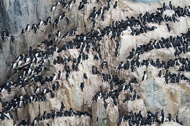 Bird_Cliffs_Svalbard_2018_0001
