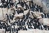 Bird_Cliffs_Svalbard_2018_0010