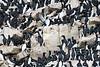 Bird_Cliffs_Svalbard_2018_0013