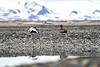 Common_Eider_Svalbard_2018_0011