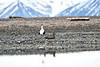 Common_Eider_Svalbard_2018_0012