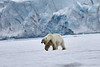 Polar_Bear_Male_Female_Cub_Svalbard_2018_Norway_0015