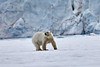 Polar_Bear_Male_Female_Cub_Svalbard_2018_Norway_0013