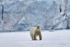 Polar_Bear_Male_Female_Cub_Svalbard_2018_Norway_0011