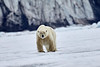 Polar_Bear_Male_Female_Cub_Svalbard_2018_Norway_0019