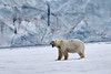 Polar_Bear_Male_Female_Cub_Svalbard_2018_Norway_0014