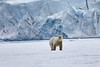 Polar_Bear_Male_Female_Cub_Svalbard_2018_Norway_0008