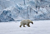 Polar_Bear_Male_Female_Cub_Svalbard_2018_Norway_0009