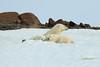 Polar_BearMother_Cubs_Svalbard_2018_Norway_0011