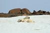 Polar_BearMother_Cubs_Svalbard_2018_Norway_0006