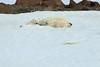 Polar_BearMother_Cubs_Svalbard_2018_Norway_0015