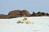 Polar_BearMother_Cubs_Svalbard_2018_Norway_0005