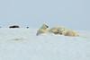 Polar_BearMother_Cubs_Svalbard_2018_Norway_0007