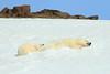 Polar_BearMother_Cubs_Svalbard_2018_Norway_0017