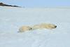 Polar_BearMother_Cubs_Svalbard_2018_Norway_0016