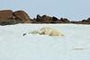 Polar_BearMother_Cubs_Svalbard_2018_Norway_0010