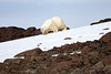 Polar_Bear_Sliding_Snow_Svalbard_2018_Norway_0001