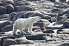Polar_Bears_Island_Svalbard_2018_Norway_0006
