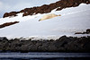 Polar_Bear_Sliding_Snow_Svalbard_2018_Norway_0006