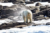 Polar_Bears_Island_Svalbard_2018_Norway_0004