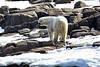 Polar_Bears_Island_Svalbard_2018_Norway_0002