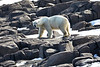 Polar_Bears_Island_Svalbard_2018_Norway_0007