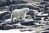 Polar_Bears_Island_Svalbard_2018_Norway_0005