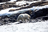 Polar_Bears_Island_Svalbard_2018_Norway_0001