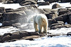Polar_Bears_Island_Svalbard_2018_Norway_0003