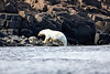Polar_Bears_Island_Svalbard_2018_Norway_0009