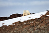 Polar_Bears_Island_Svalbard_2018_Norway_0010