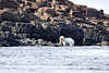 Polar_Bears_Island_Svalbard_2018_Norway_0008
