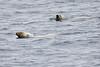 Polar_Bear_Male_Female_Swimming_Svalbard_2018_Norway_0012
