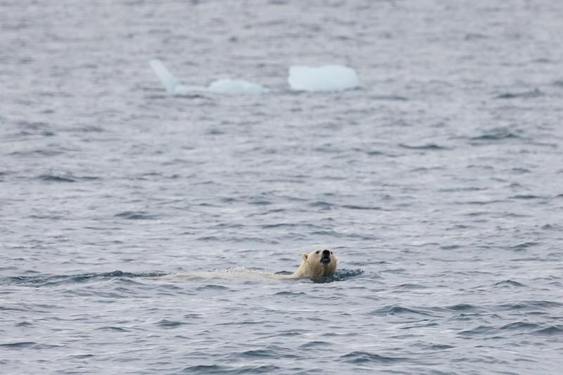 Polar_Bear_Male_Female_Swimming_Svalbard_2018_Norway_0001