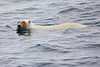 Polar_Bear_Male_Female_Swimming_Svalbard_2018_Norway_0018