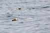 Polar_Bear_Male_Female_Swimming_Svalbard_2018_Norway_0011